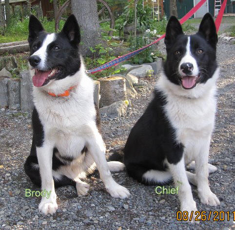 Karelian Bear Dog Rescue Canada